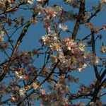 寿ぎの桜を愛でつ事始2