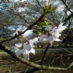 新宿御苑・東海桜1