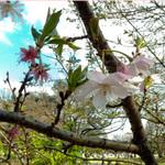 新宿御苑・東海桜2