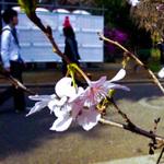 新宿御苑・東海桜4