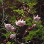 Oshidorizakurap4120041