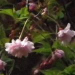 Oshidorizakurap4120041_2