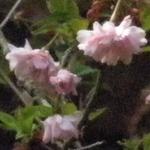 Oshidorizakurap4120041_4
