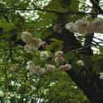 鴛鴦桜(おしどりざくら)2