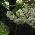 鴛鴦桜(おしどりざくら)1