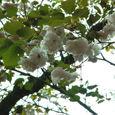 鴛鴦桜(おしどりざくら)3