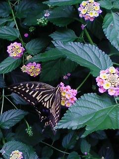 梅雨晴れに夢中で蜜吸い揚羽蝶