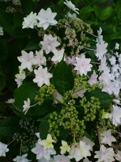 雨上がり朝日に艶なり八重紫陽花