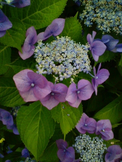 紫苑色染めて咲きなむ萼紫陽花