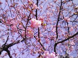 市川・真間川沿い昭和学園そばの河津桜2