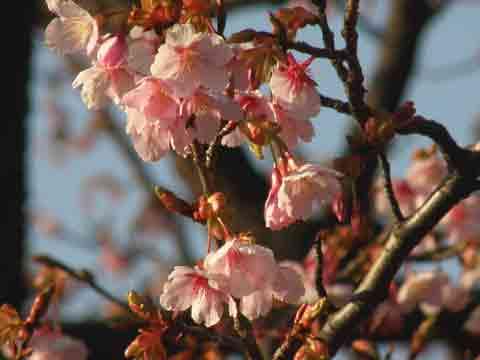 頭垂れたわわに色づく寒桜 鳥撮三