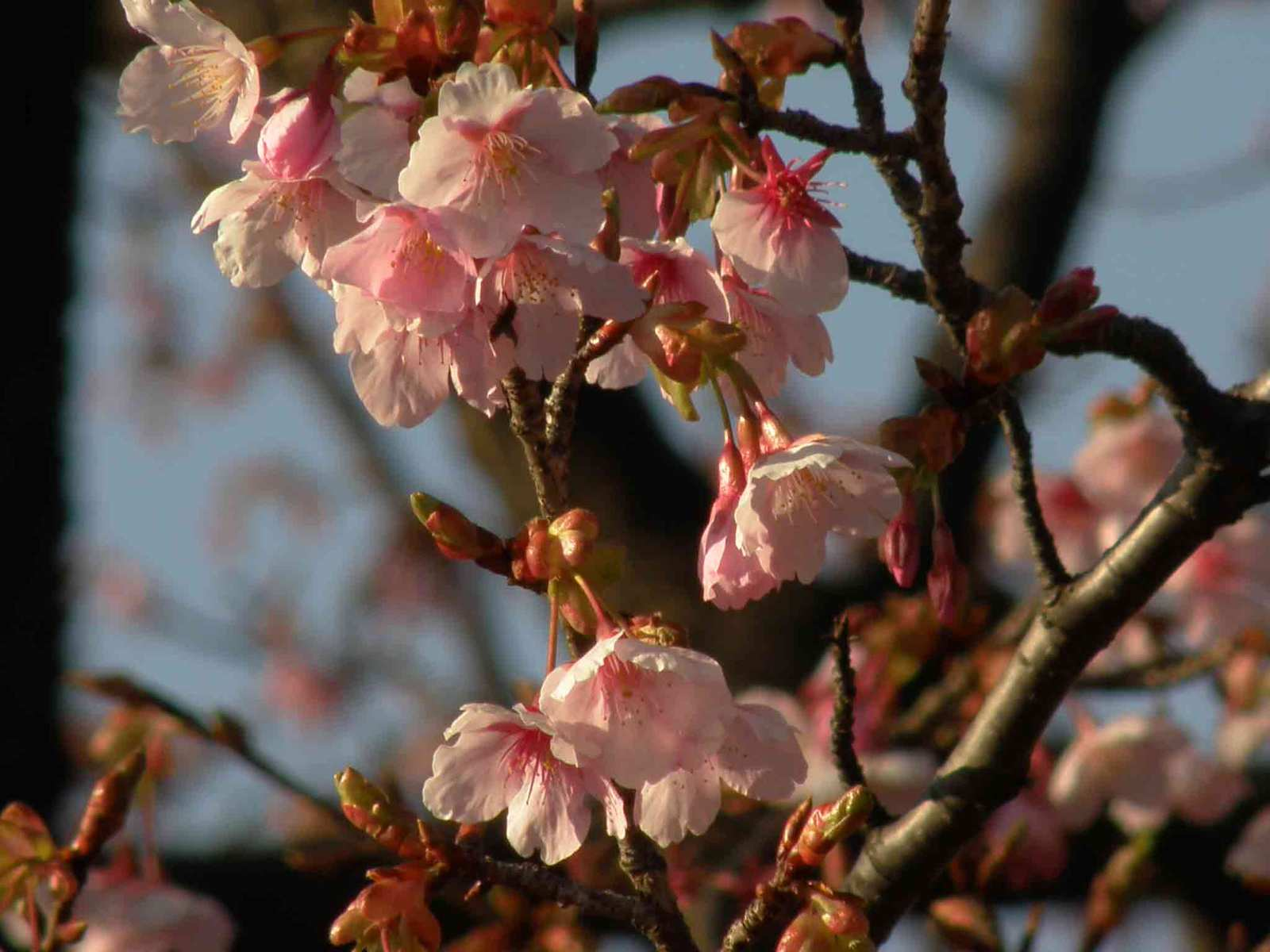 修善寺の桜花を愛でる中の池 鳥撮三