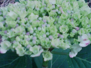 我先に色づき咲きぬ早生紫陽花