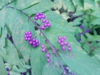 小紫色づく景色御苑の秋