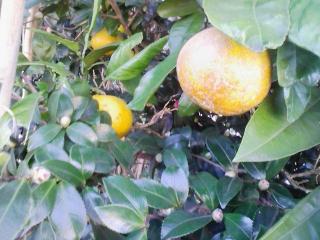 橙に蜜柑染まればこたつの頃