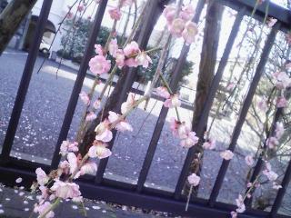 ねっとDEお花見・船橋の枝垂れ梅