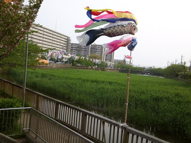 こざと公園・鯉のぼりに里桜