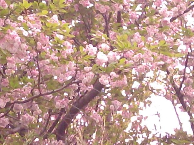 ねっとDE<br /> お花見千葉市川・北国分の晩生桜2010