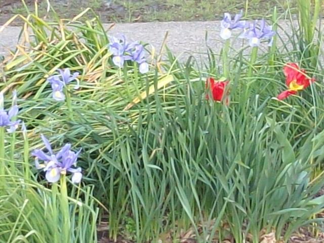 藍に朱皐月彩る菖蒲咲く