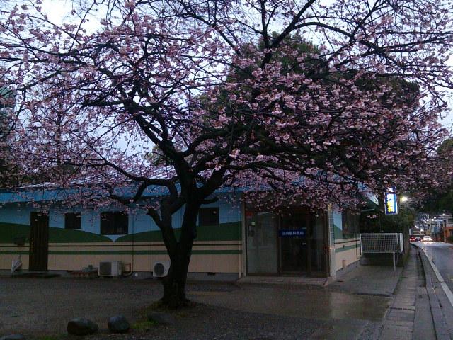 船橋市内・山桜3月21日満開