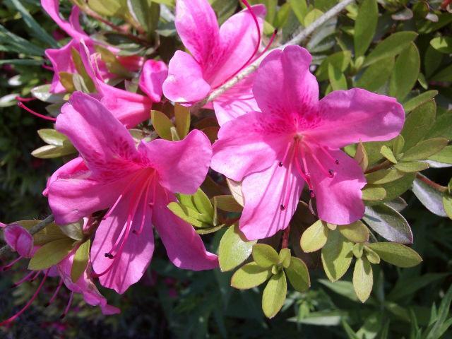 咲く躑躅ツツツチ讃えし四十雀