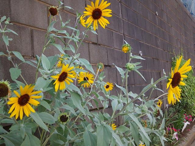 日だまりに懐かしむ夏向日葵よ
