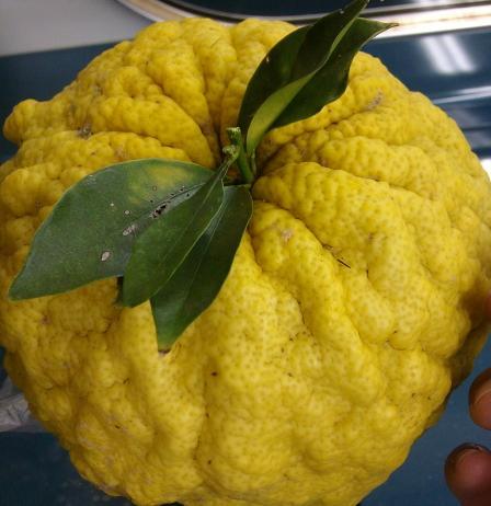 鬼柚子の見事実りて秋の幸