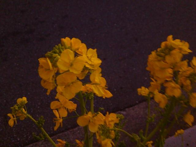 菜の花の咲くを見つけて笑みこぼれ