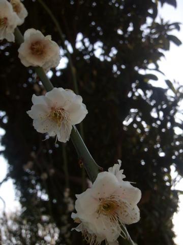 夢溢れ春の訪れ枝垂れ梅