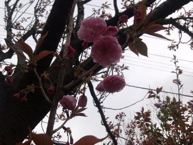 里桜紅染め告げる遅い春