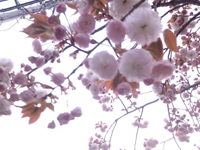里桜後先競い華咲くや