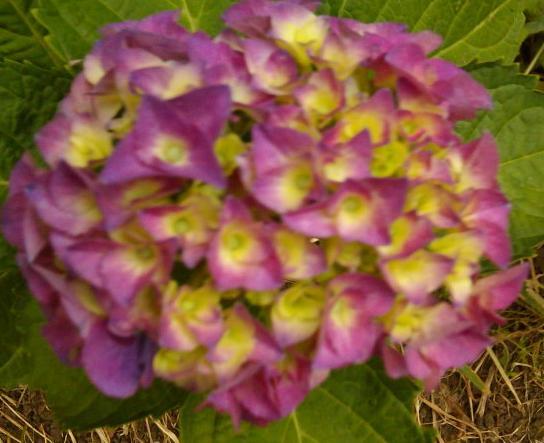 紫苑色味わい深き紫陽花の