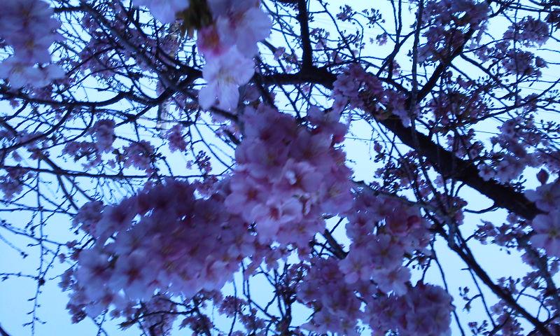 咲く桜啼く姫雛鳥春爛漫