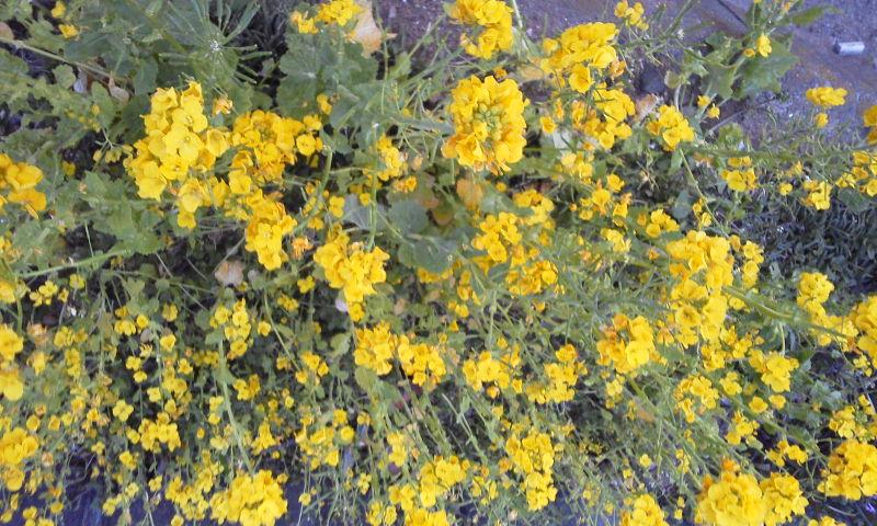 弥生月競い咲くよに野の菜の花