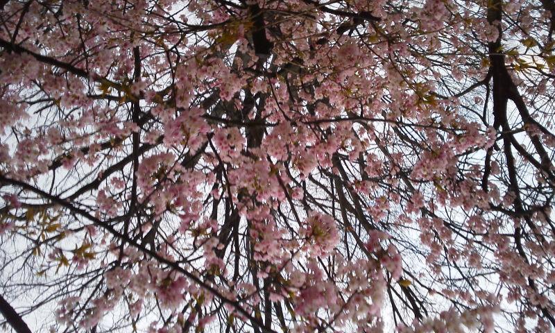 山櫻咲いて競いて春満ちて