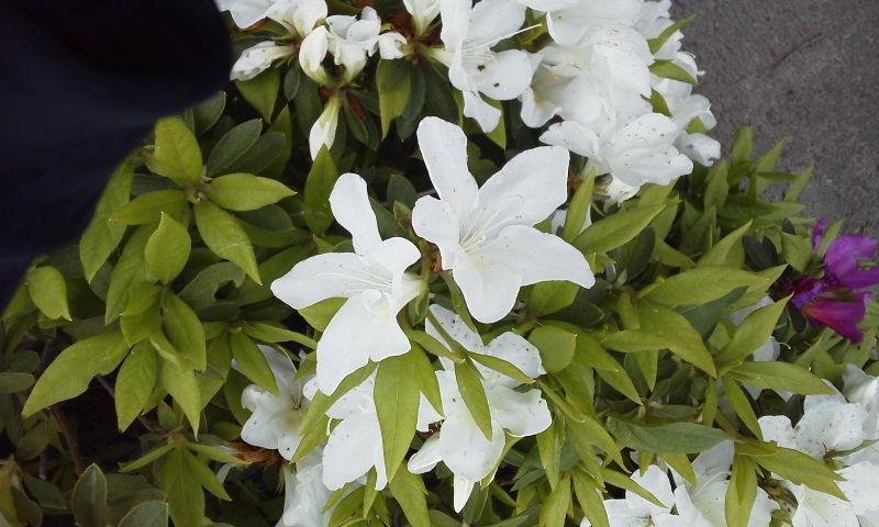躑躅咲く皐月過ぎ行き咲く紫陽花