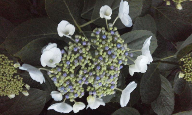 風湿る弥涼暮月咲く紫陽花