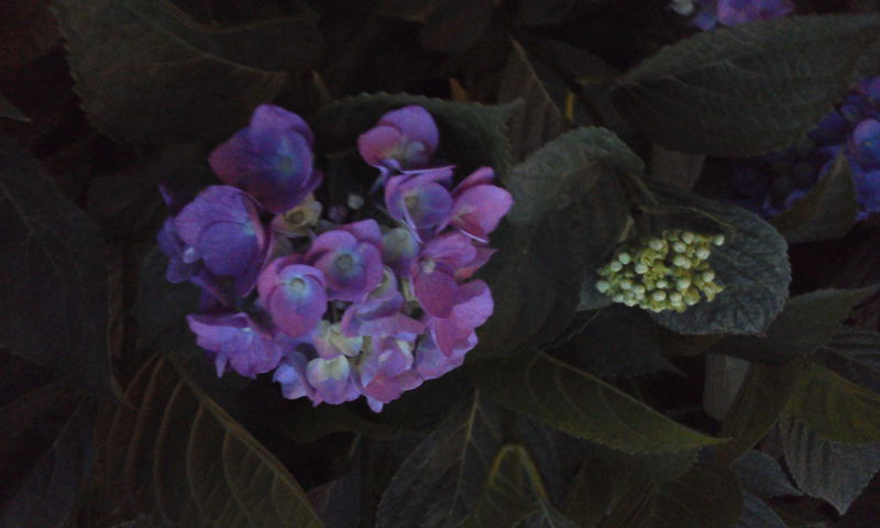 藍に染まり夜毎色づく四葩の花