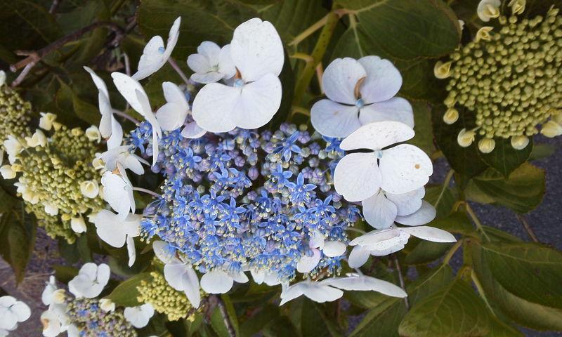 梅雨休み雨間彩る八仙花