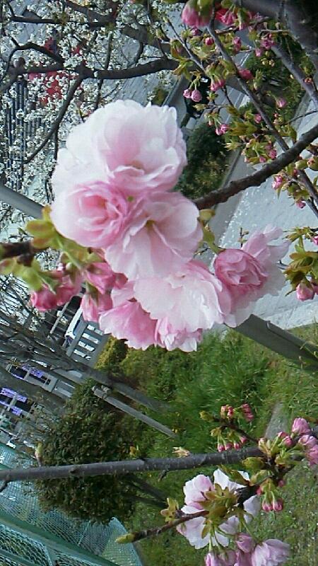 さくら咲くならサヨナラされど散ってちっとも忘れられない