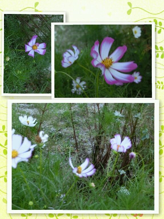 紫の縁にあらず秋桜の…
